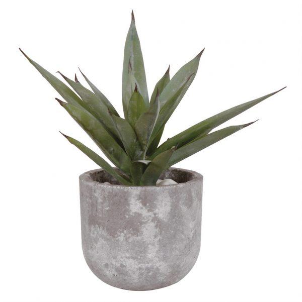Aloe Vera In Cement Pot