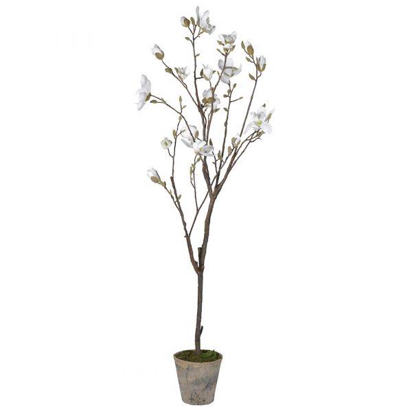 White Magnolia Tree In Pot