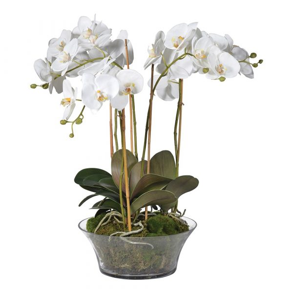 White Orchid Phalaenopsis Plants With Moss In Shallow