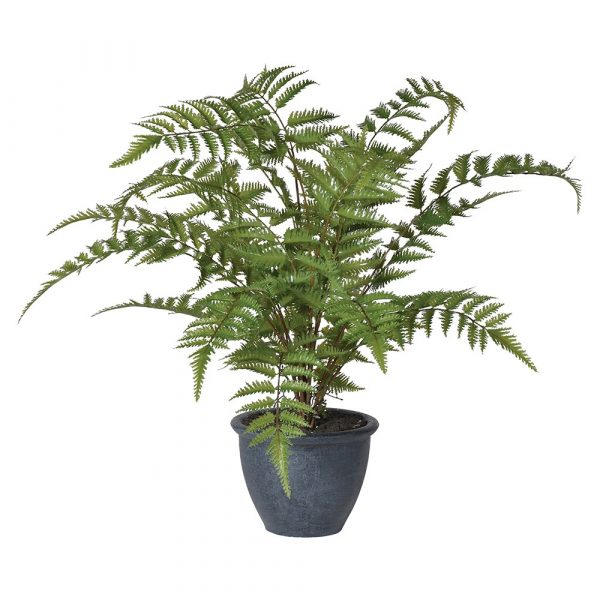 Bracken Fern Bush In Pot