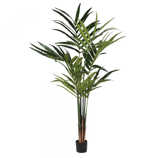 Green Kentia Palm In Pot