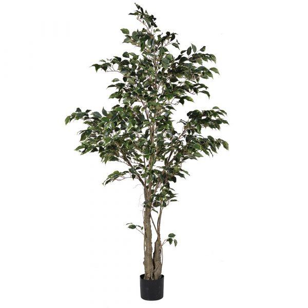 Variegated Ficus Tree In Black Plastic Pot